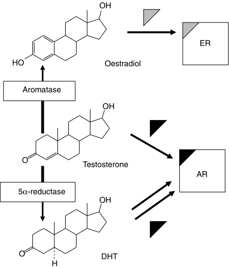 Testosterone Enanthate - The Androgen